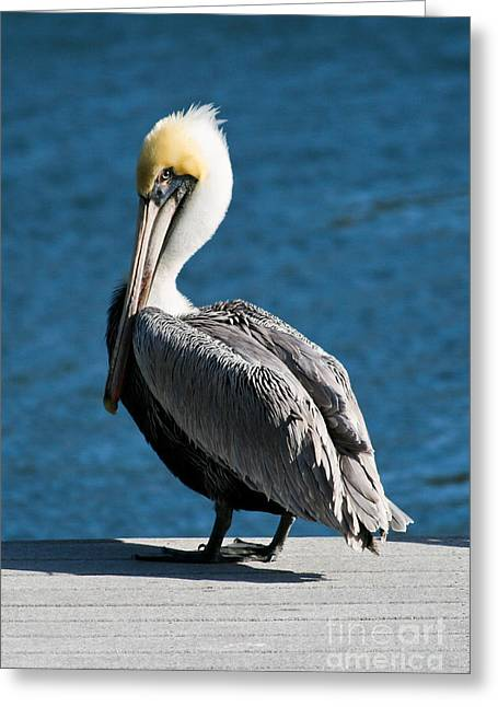 Steven Gray Greeting Cards - The Pelican Greeting Card by Steven Gray