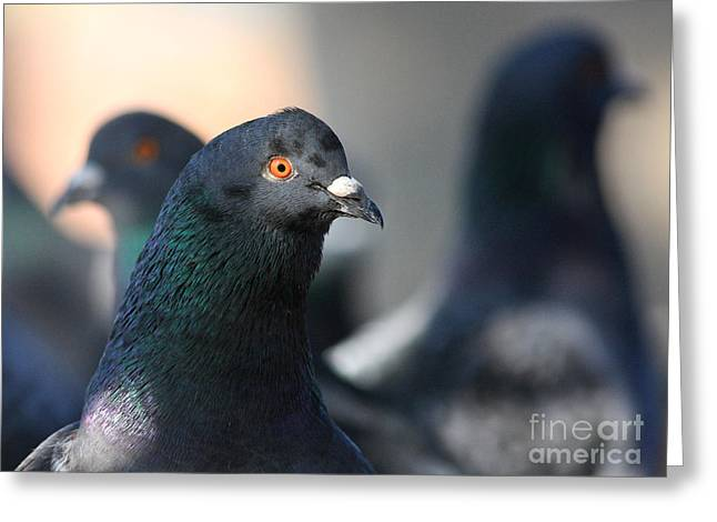 Pijuns Greeting Cards - The Pigeon . 40D10018 Greeting Card by Wingsdomain Art and Photography