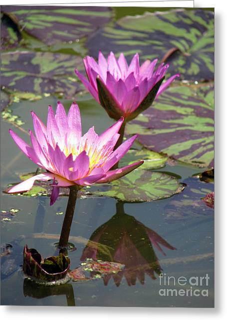 Lilly Pads Greeting Cards - The pond Greeting Card by Amanda Barcon