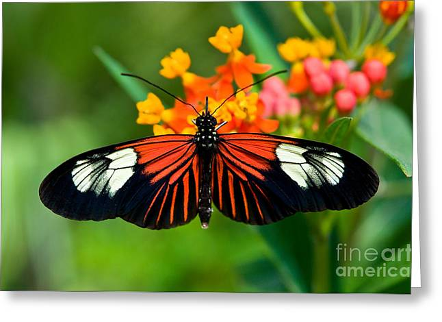 Postman Greeting Cards - The Postman Butterfly 2  Greeting Card by Terry Elniski