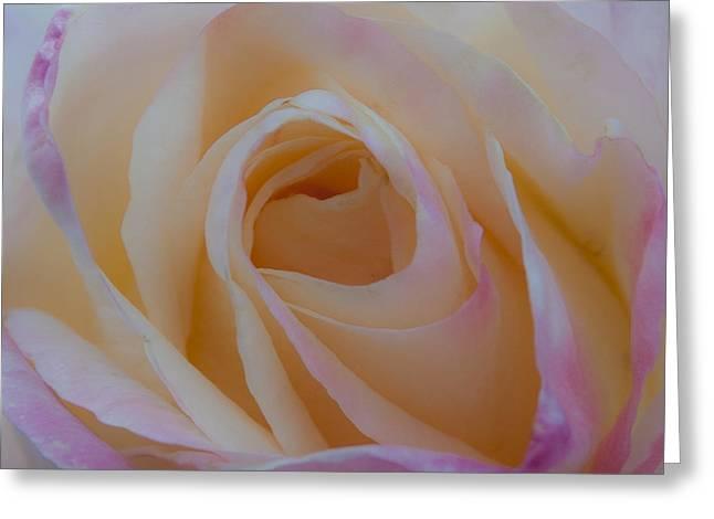Princess Diana Greeting Cards - The Princess Diana Rose IV Greeting Card by David Patterson