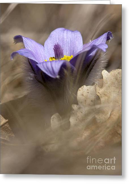 The Pulsatilla Greeting Card by Odon Czintos