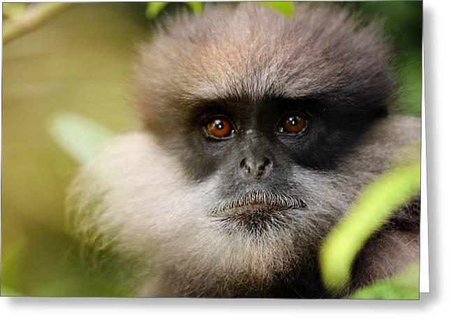 White Beard Greeting Cards - The Purple-Faced Langur. Nuwara Eliya.Sri Lanka Greeting Card by Jenny Rainbow