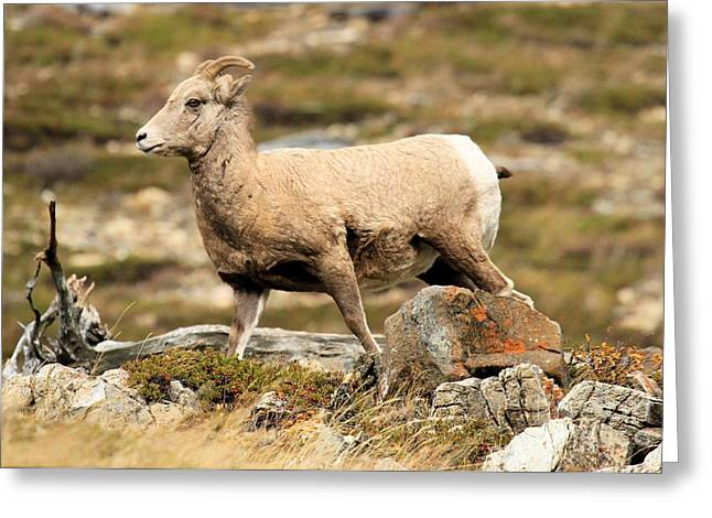 Sheep On Rocks Greeting Cards - The Queen Greeting Card by Adam Jewell