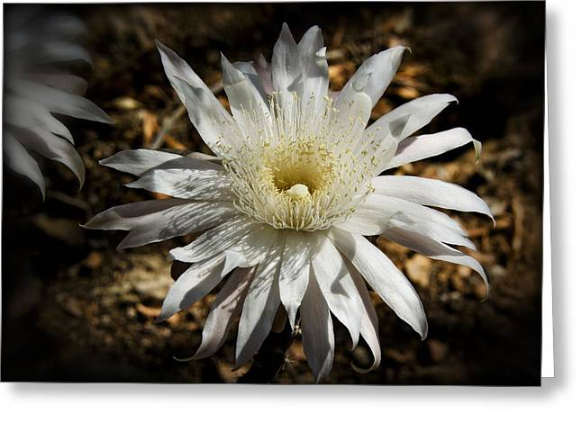 Cereus Greeting Cards - The Queen of the Night  Greeting Card by Saija  Lehtonen