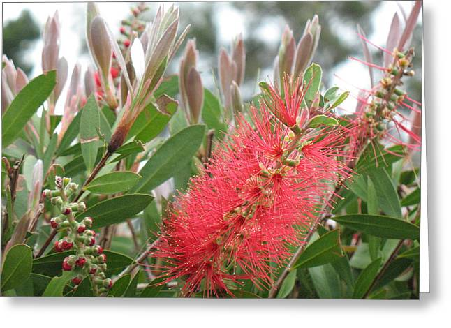 The Queen's 'ohia Lehua  Greeting Card by Ron Holiday Broomell