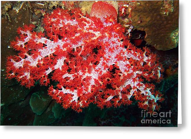 Snorkel Greeting Cards - The scarlet soft coral. Similan Islands Greeting Card by MotHaiBaPhoto Prints