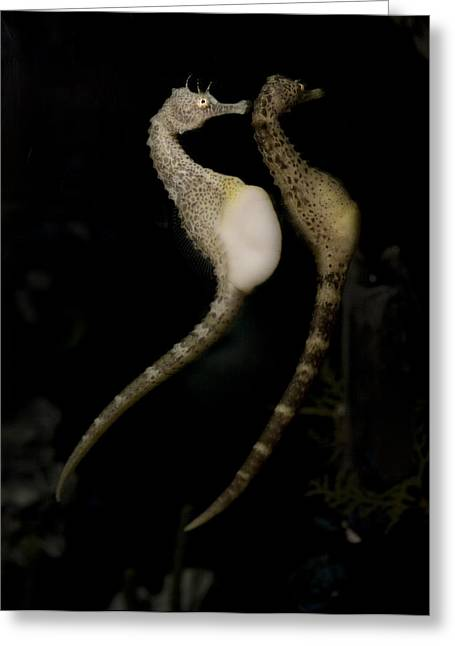 Two Seahorses Greeting Cards - The Seahorse Patrol Greeting Card by Luc Novovitch