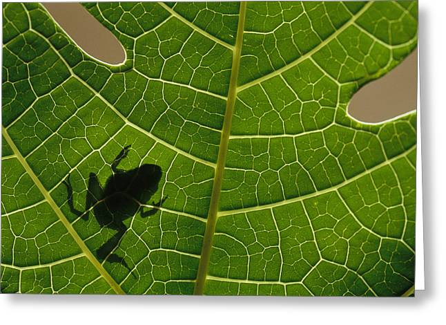Internal Growth Greeting Cards - The Silhouette Of A Tree Frog Seen Greeting Card by Joel Sartore