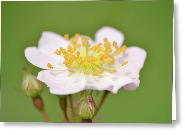 Multiflora Greeting Cards - The Simplest Rose Greeting Card by JD Grimes