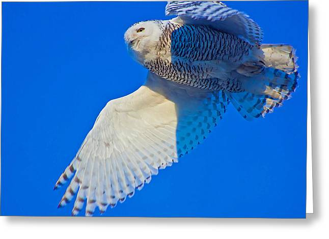 Snowie Greeting Cards - The Snowy Owl Greeting Card by Chris  Allington