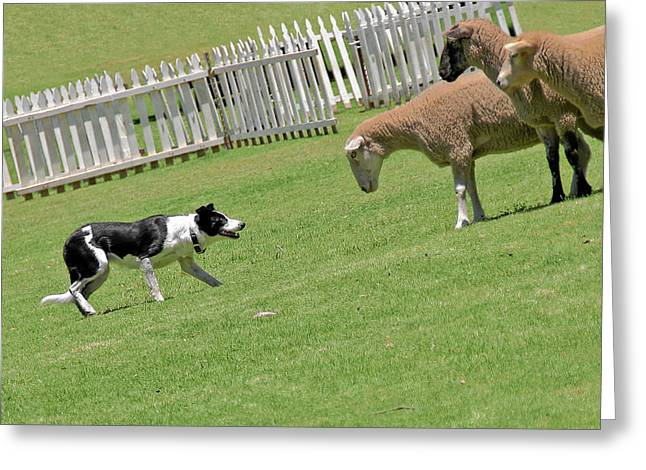 Bred Photographs Greeting Cards - The stare - Border Collie at work Greeting Card by Christine Till