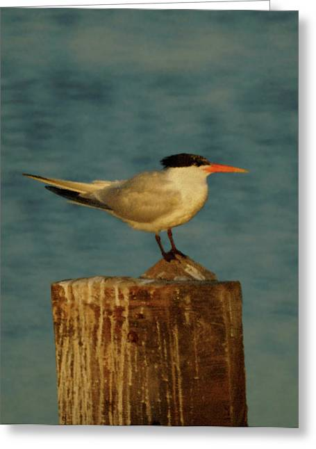 Tern Greeting Cards - The Tern Greeting Card by Ernie Echols