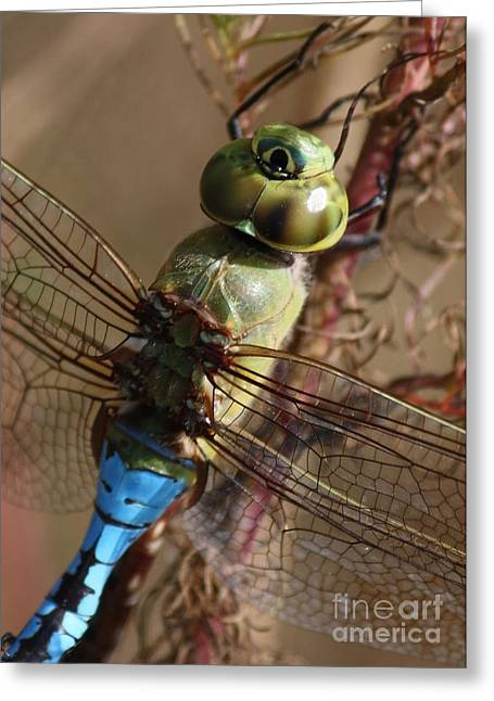 Dragonflies Greeting Cards - The Thorax Greeting Card by Carol Groenen