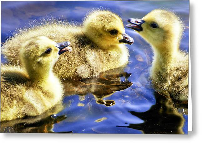 Three Chicks Greeting Cards - The Three Tenors Greeting Card by Vicki Jauron