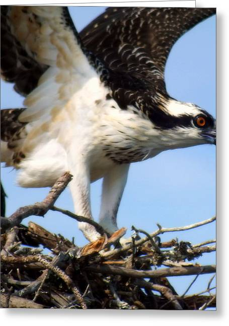 Sea Birds Greeting Cards - The True Fisherman Greeting Card by Karen Wiles