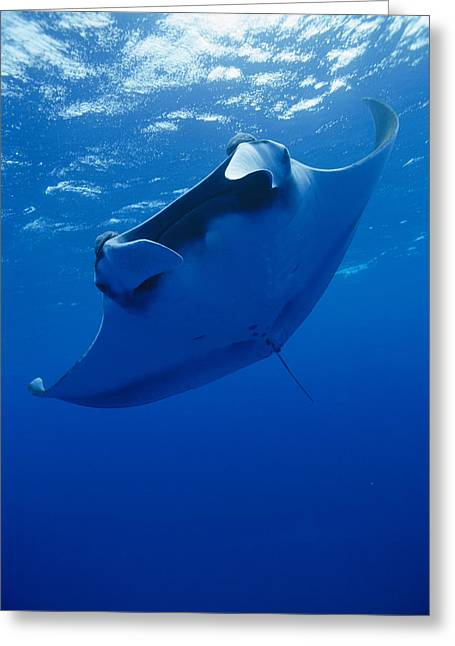 Turks And Caicos Islands Greeting Cards - The Unique Form Of A Manta Ray Manta Greeting Card by Brian J. Skerry