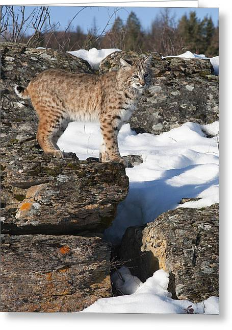 Bobcats Greeting Cards - The Vantage Point Greeting Card by Dewain Maney