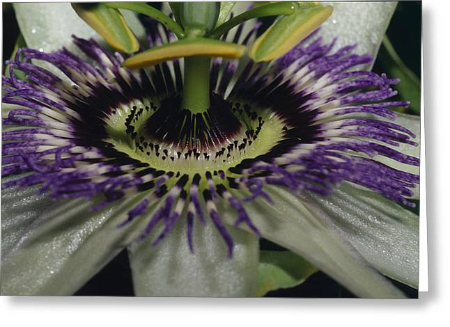 Passionfruit Greeting Cards - The Vivid Purple And Intricate Greeting Card by Jason Edwards