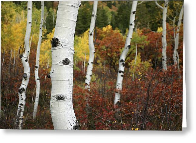 Color Change Greeting Cards - The White Bark Of Autumn Colored Aspen Greeting Card by Charles Kogod
