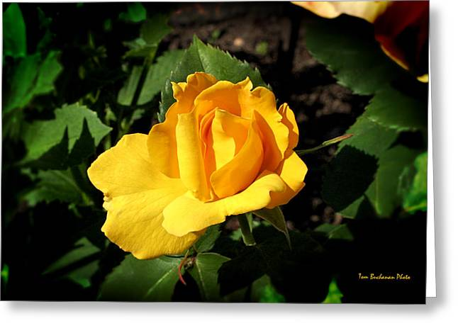 Warm Summer Greeting Cards - The Yellow Rose of Garden Greeting Card by Tom Buchanan