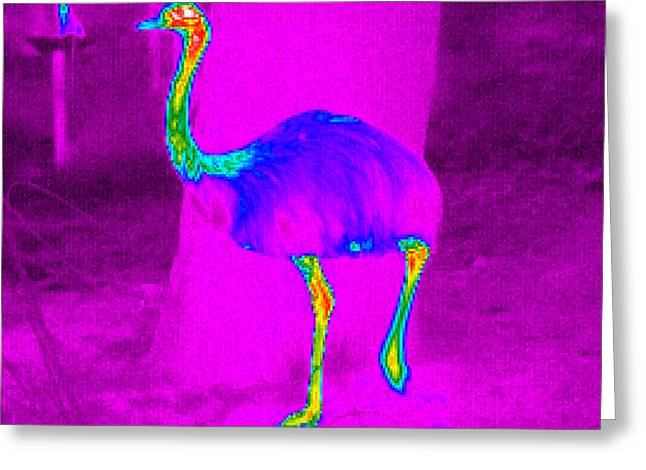 Thermograph Greeting Cards - Thermogram Of A Rhea Greeting Card by Dr. Arthur Tucker