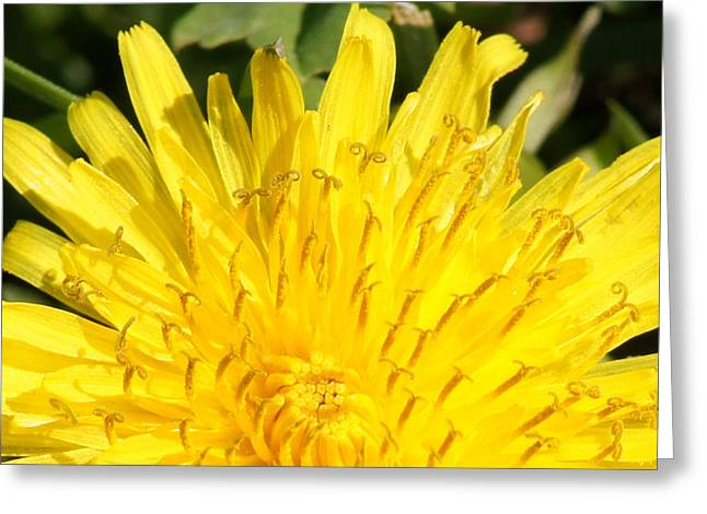 Reflections Of Infinity Llc Greeting Cards - They Call Me A Weed Close-up Greeting Card by Robert E Alter Reflections of Infinity