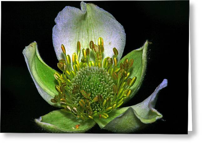 Buttonweed Greeting Cards - Thimbleweed Anemone virginiana Greeting Card by Ron Kruger
