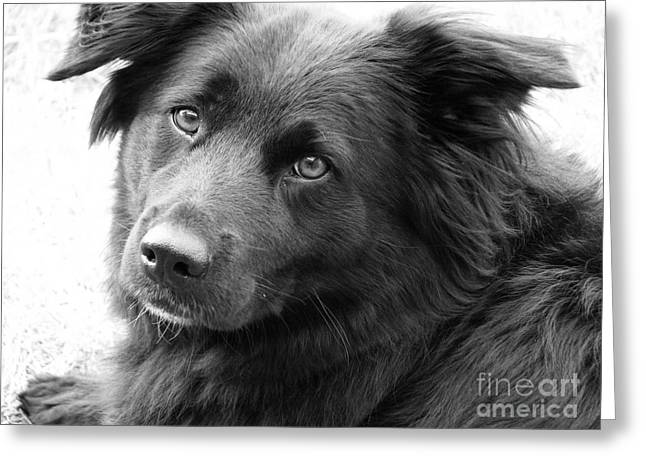 Collie Greeting Cards - Thinking Greeting Card by Amanda Barcon