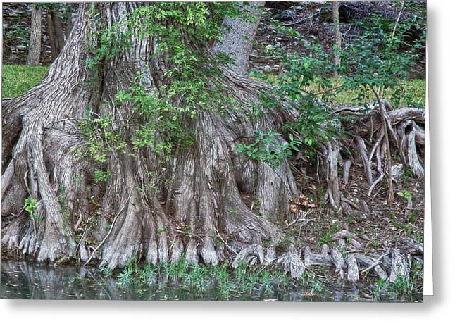 Wimberley Greeting Cards - Thirsty Cypress Greeting Card by James Woody