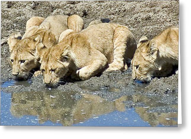 Lions Greeting Cards - Thirsty Lion Cubs Greeting Card by Darcy Michaelchuk