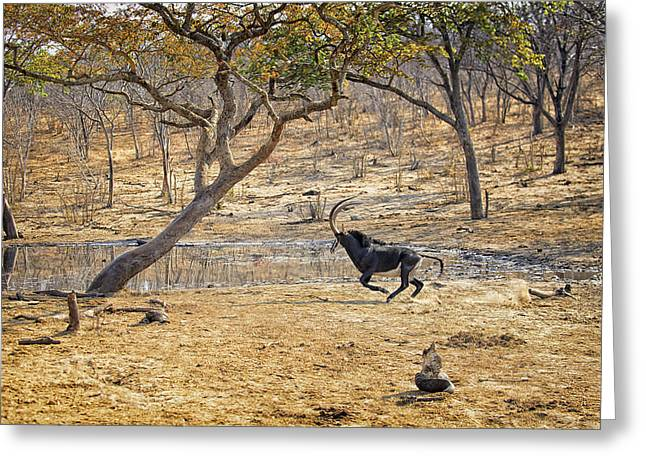 Bush Wildlife Greeting Cards - This is Botswana No.  3 - Sable on the Run Greeting Card by Paul W Sharpe Aka Wizard of Wonders