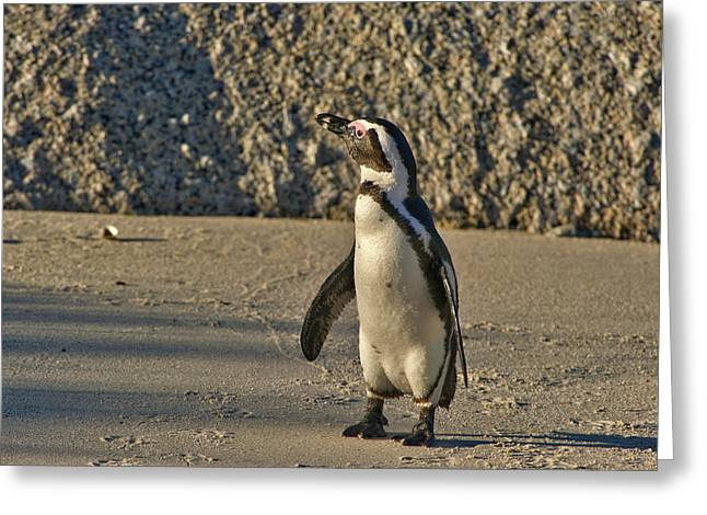 Jackass Greeting Cards - This is South Africa No.  2 - African Penguin Walking on the Bea Greeting Card by Paul W Sharpe Aka Wizard of Wonders