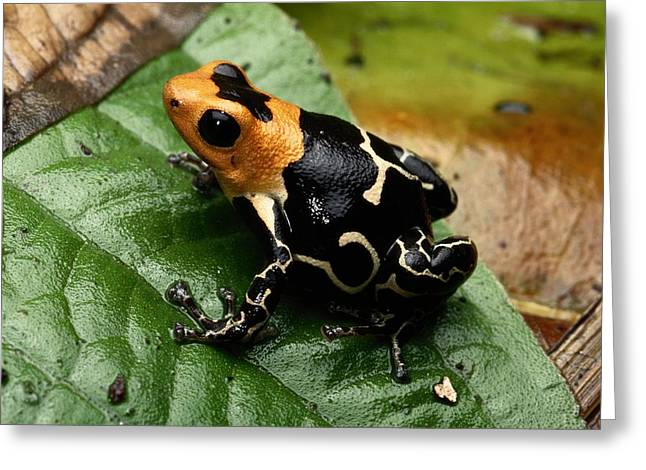 Peru Greeting Cards - This Is The Poison Frog Dendrobates Greeting Card by George Grall