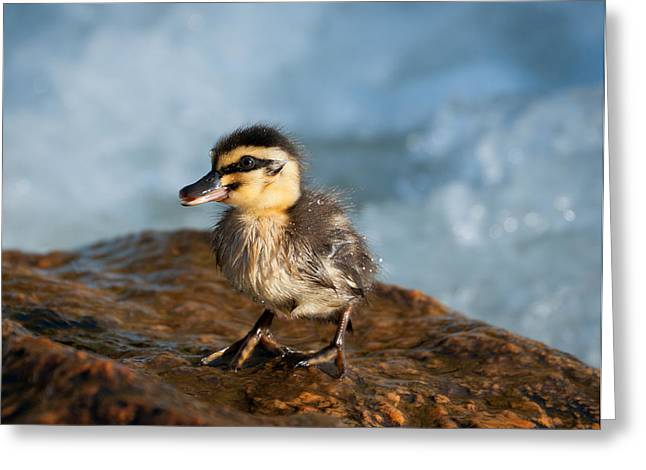Ducklings Digital Greeting Cards - This Little Duck Greeting Card by Heather Thorning