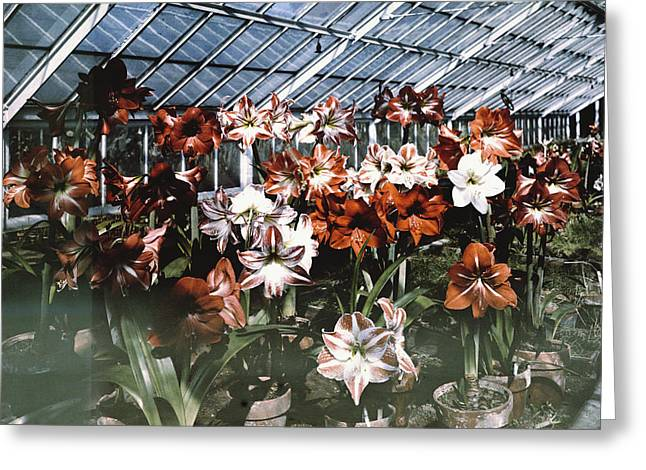 Flower Show Greeting Cards - This Plate Is Similar To Plate Xvi Greeting Card by Charles Martin