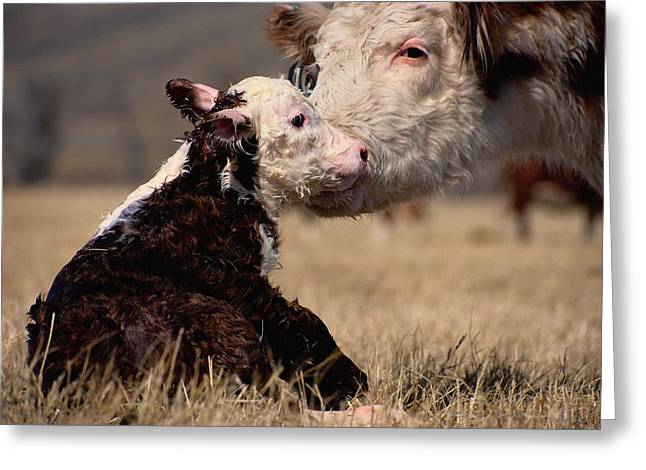 Juvenile Mammals Greeting Cards - This Young Hereford Was Born Greeting Card by Sam Abell