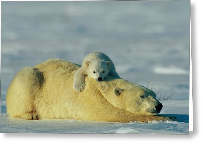 Roost Photographs Greeting Cards - This Young Polar Bear Ursus Maritimus Greeting Card by Norbert Rosing