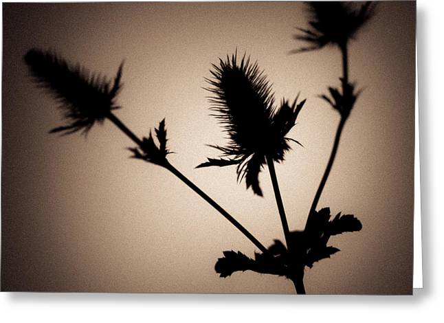Asteraceae Greeting Cards - Thistle Greeting Card by Dave Bowman