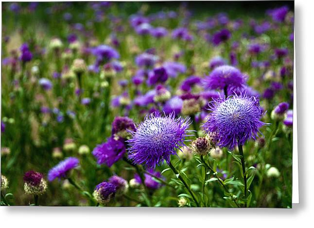 Tamyra Ayles Greeting Cards - Thistle Field Greeting Card by Tamyra Ayles