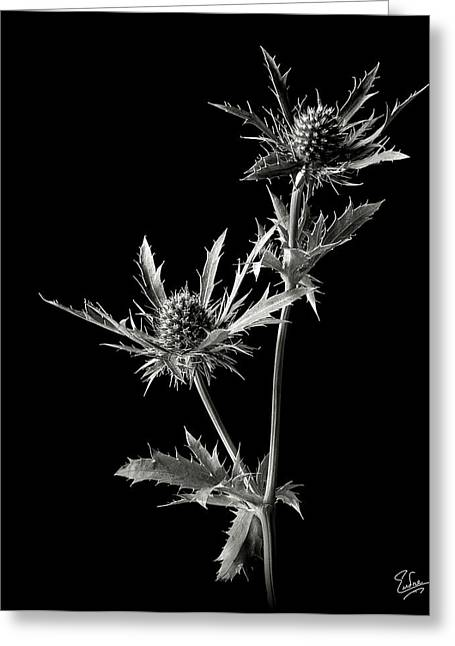 Flower Photos Greeting Cards - Thistle in Black and Whtie Greeting Card by Endre Balogh