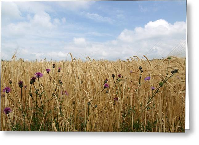 Thistles Greeting Cards - Thistle in wheat field Greeting Card by Jessica Rose