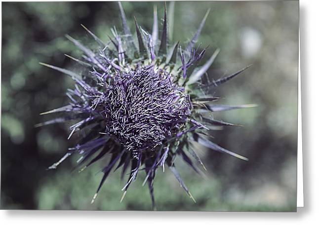Thistle Greeting Cards - Thistle Greeting Card by Joana Kruse