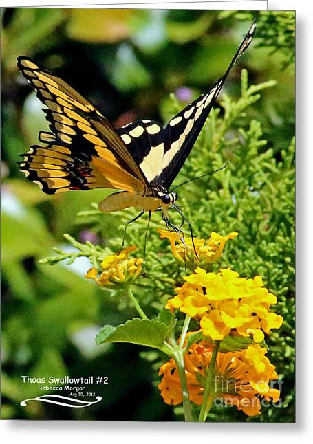 Papilio Thoas Greeting Cards - Thoas Swallowtail #2 Greeting Card by Rebecca Morgan