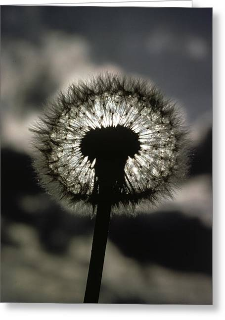 Henry David Thoreau Greeting Cards - Thoreau Called A Dandelion A Complete Greeting Card by Farrell Grehan