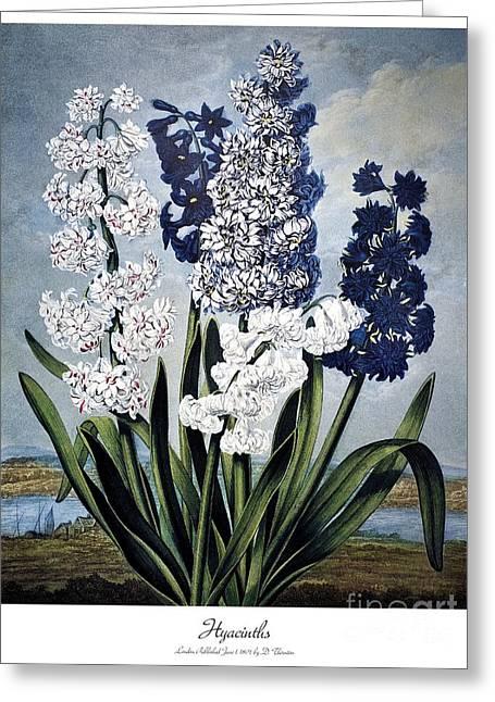 1801 Greeting Cards - Thornton: Hyacinths Greeting Card by Granger