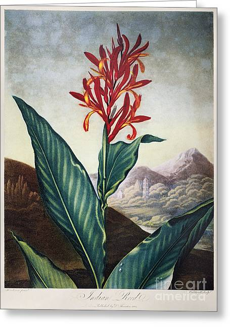 Canna Greeting Cards - Thornton: Indian Reed Greeting Card by Granger