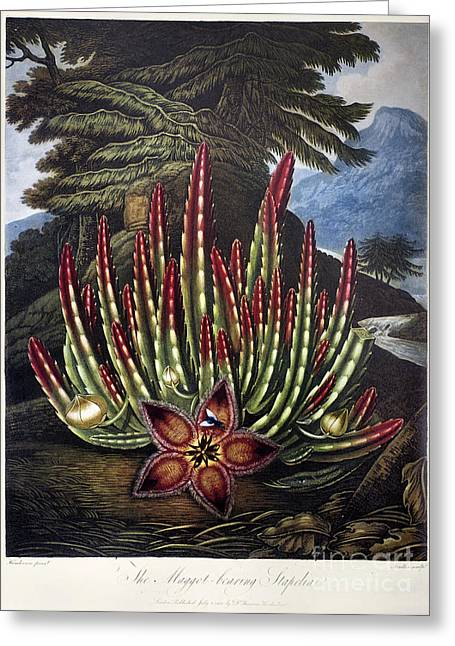 1801 Greeting Cards - Thornton: Stapelia Greeting Card by Granger