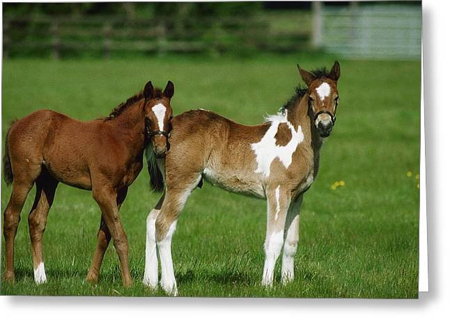 Full Body Greeting Cards - Thoroughbred Foal And Half-breed Greeting Card by The Irish Image Collection