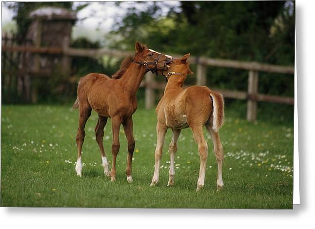 Full Body Greeting Cards - Thoroughbred Foal, Ireland Greeting Card by The Irish Image Collection